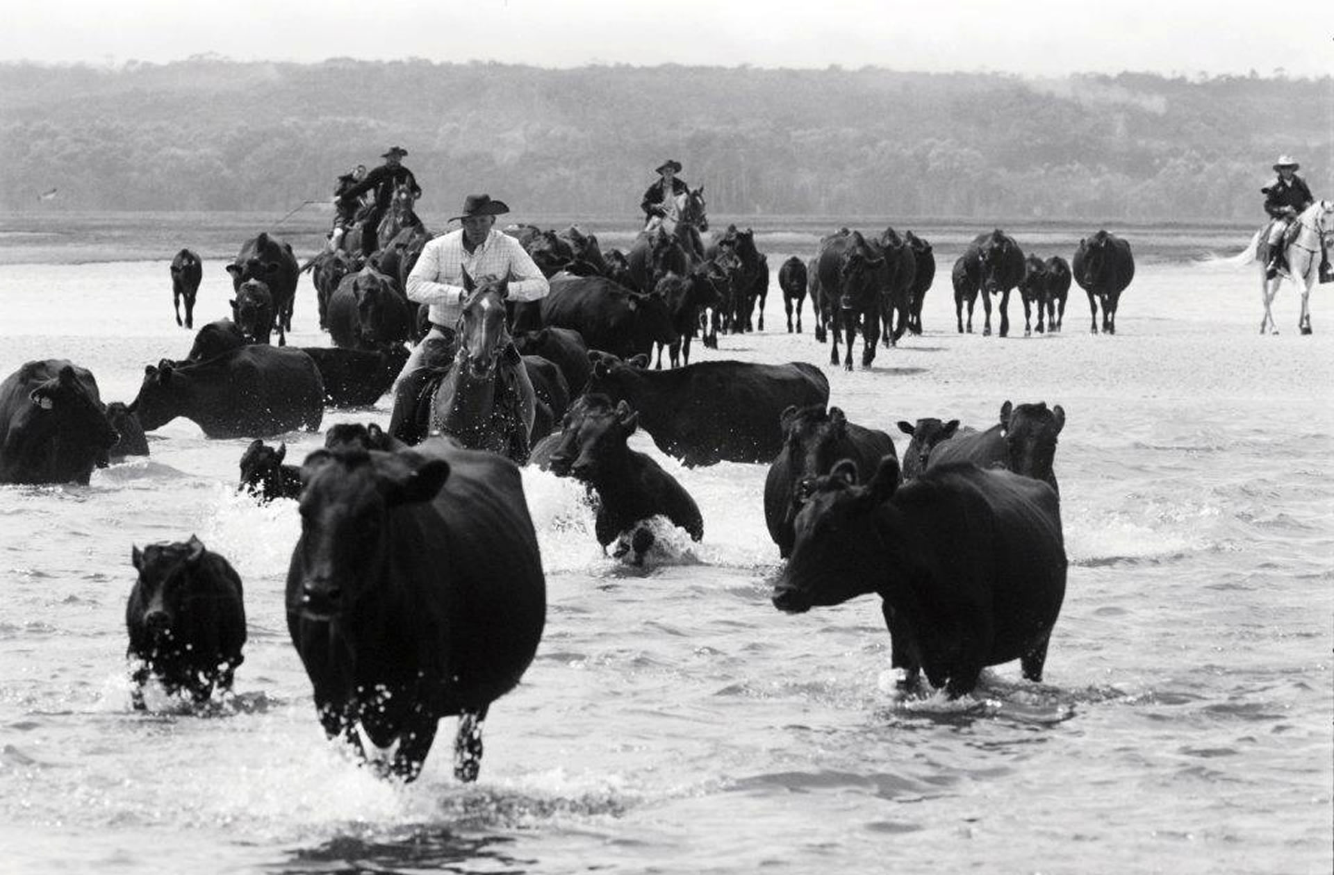 Keith Hammond moving wagyu cattle off Robbins Island at low tide.