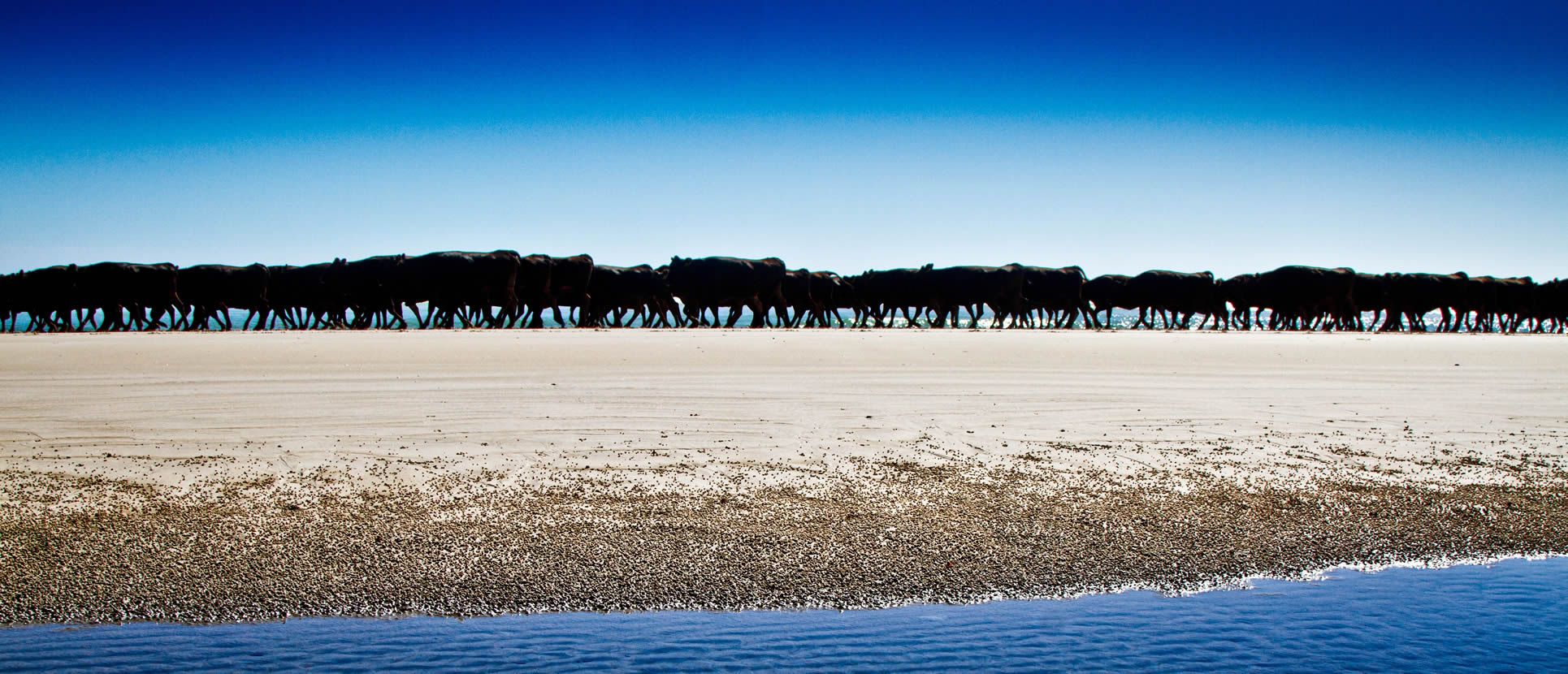 Cattle Muster - Robbins Island, Australia
