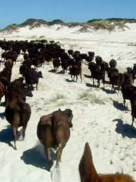 Riders View- Beach Cattle Muster