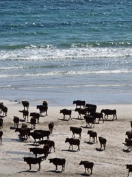 The cool climate, salt air, and pristine environment are ideal for naturally raising some of the most tender and best tasting beef in the world.