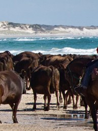 Horsemen swim the cattle through saltwater channels at low tide to move them off the island during the renowned muster.
