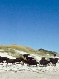 Cattle moved across the islands at low tide and onto the beach at Robbins Island