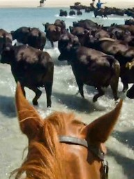 Riders view - Grass Fed Robbins Island Wagyu Beef muster in Australia