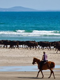 Robbins Island beach stroll - swimming the cattle through saltwater channels at low tide to move them peacefully between grazing areas.