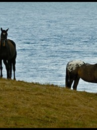 Stock horses, First Bluff - NW Tasmanian countryside