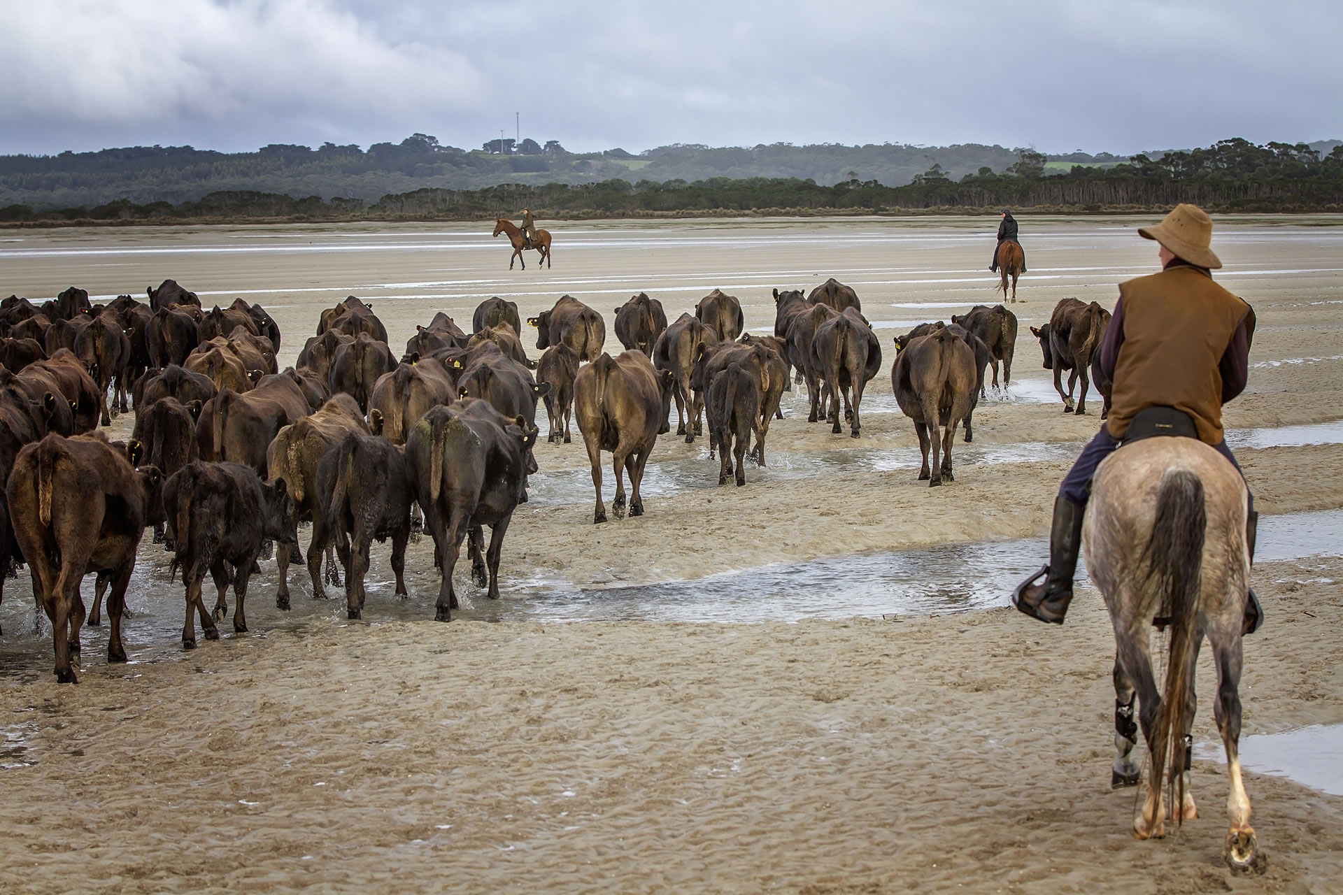 Moving cattle at low tide