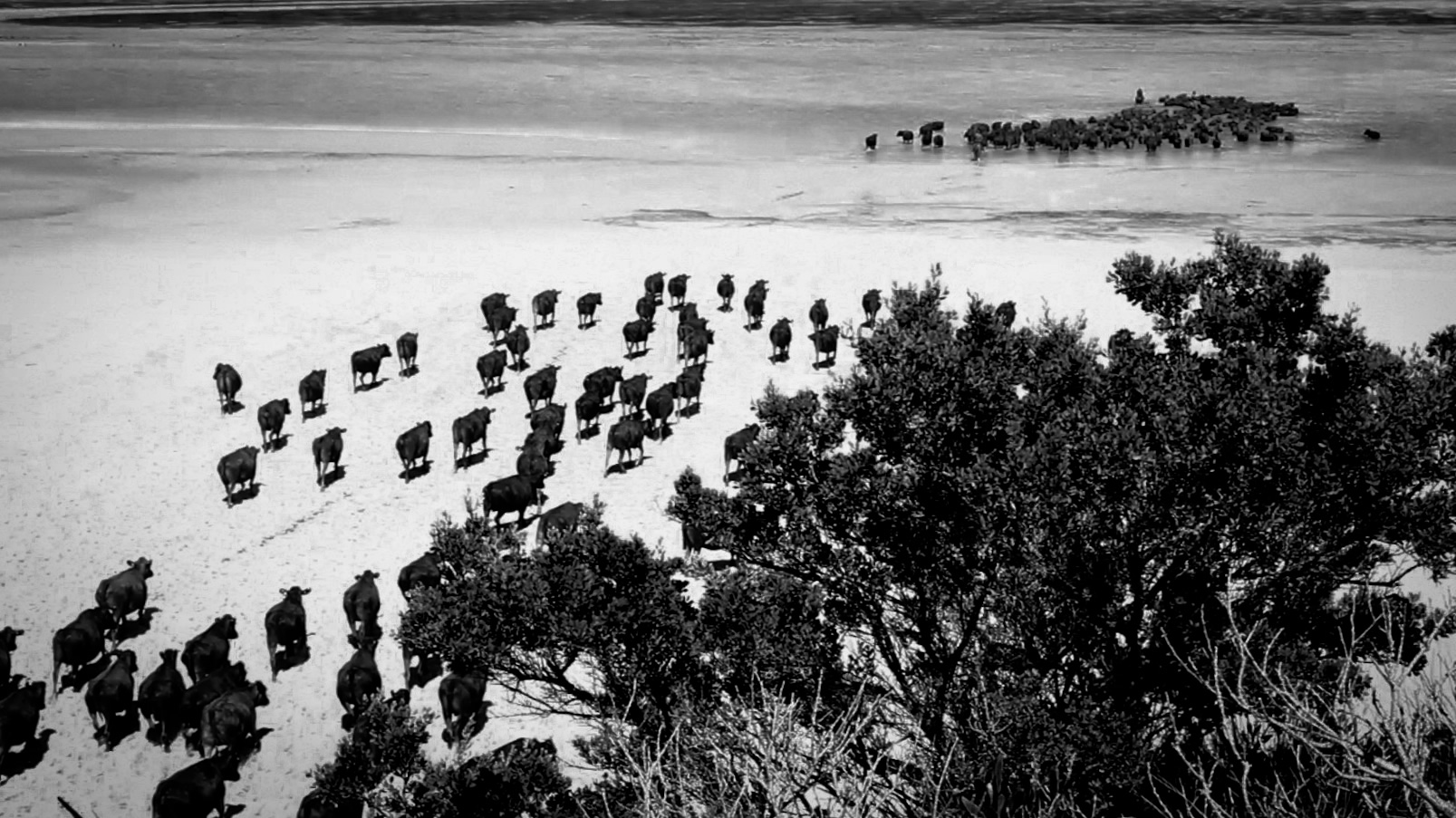 WA 和 - Cattle moving across Mosquito Sound, Robbins Island, Tasmania.